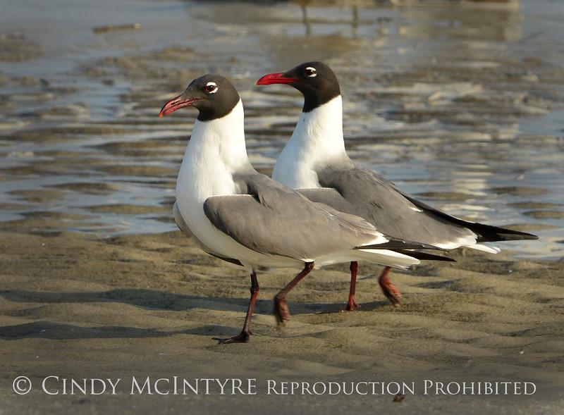 Laughing gulls courting, Jekyll Is GA (2)