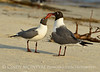 Laughing gulls courting, Jekyll Is GA (19)