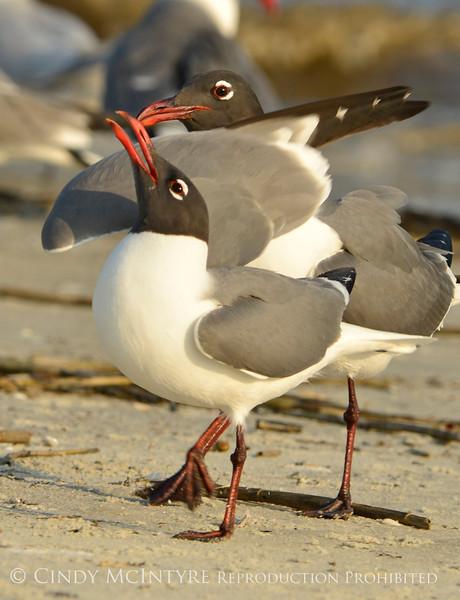 Laughing gulls courting, Jekyll Is GA (10)