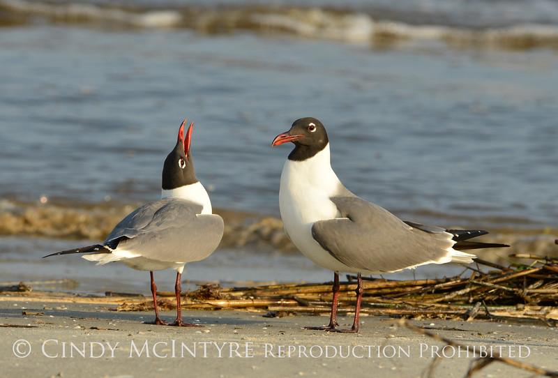 Laughing gulls courting, Jekyll Is GA (8)