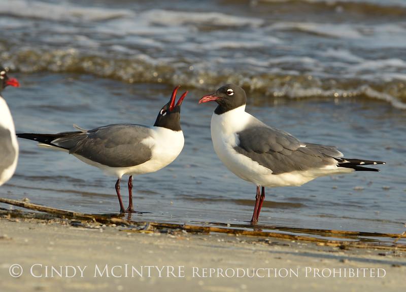 Laughing gulls courting, Jekyll Is GA (4)