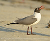 Laughing gulls courting, Jekyll Is GA (29)