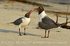 Laughing gulls courting, Jekyll Is GA (22)