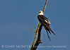 Swallow-tail Kite, GA (12)