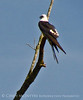 Swallow-tail Kite, GA (11)