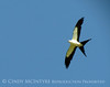 Swallow-tail Kite, GA (4)
