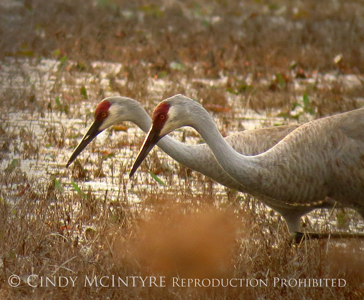 Sandhill Cranes at sunset, Okefenokee NWR GA (6) copy