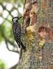 Red-cockaded woodpecker feeding chicks (1)