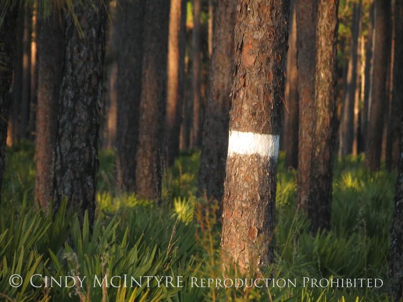 Okefenokee NWR GA, Red-cockaded woodpecker nesting tree