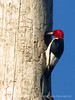 Red-headed woodpecker at nest hole, Oke