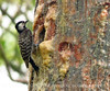 Red-cockaded woodpecker feeding chicks (3)