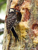 Red-cockaded woodpecker feeding chicks (5)
