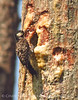 Red-cockaded woodpecker feeding chicks (6)
