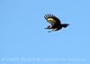 Pileated woodpecker, ONWR (6)