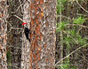 Pileated Woodpecker male on pine, Okefenokee NWR (4)
