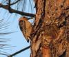 Red-bellied woodpecker, Okefenokee NWR (1)