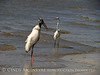 Wood Stork and Needlefish, Jekyll Island, GA