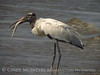 Wood Stork and giant fish, Jekyll Island, GA (41)