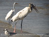 Wood Stork and giant fish, Jekyll Island, GA (91)