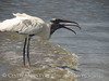 Wood Stork and giant fish, Jekyll Island, GA (66)