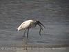 Wood Stork and giant fish, Jekyll Island, GA (16)