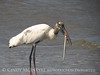 Wood Stork and giant fish, Jekyll Island, GA (63)