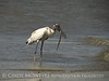 Wood Stork and giant fish, Jekyll Island, GA (14)