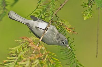 Blue-Gray Gnatcatcher [October; Corkscrew Swamp, Florida]
