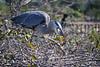 Blue Heron picking up fish 3
