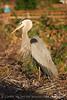 Blue Heron papa