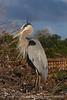 Blue Heron Elegant 4