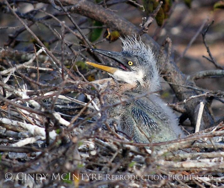 Baby Heron 8