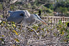 Blue Heron new mom 3