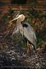 Blue Heron papa 2