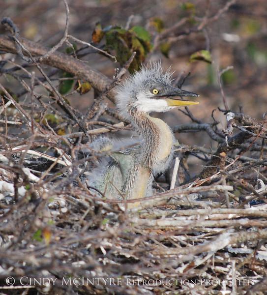Baby Heron 10