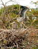 Gr Blue Heron chicks, Wacky FL (1)