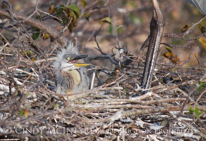 Baby Heron 7