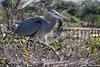 Blue Heron new mom 6