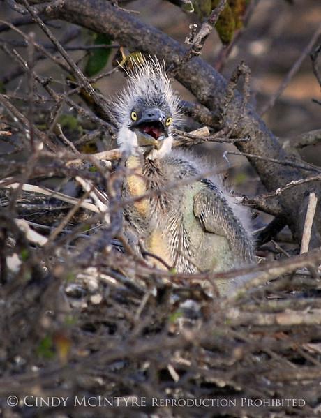 Baby Heron 6