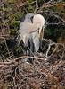 Blue Heron on Nest 2