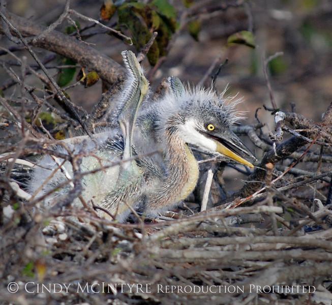 Baby Heron stretching 2
