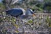 Blue Heron picking up fish 4