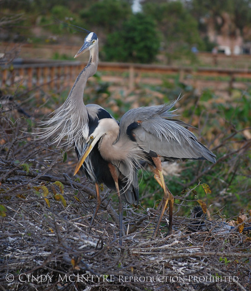 Blue Heron change guard 3