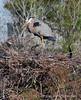 Blue Heron on Nest N0 2