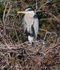 Blue Heron on Nest 3