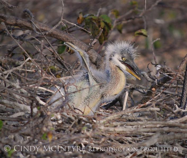 Baby Heron stretching 1