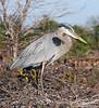 Blue Heron on nest