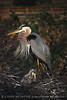Blue Heron papa 3