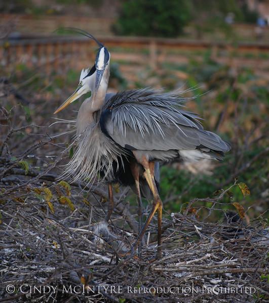 Blue Heron change guard 5