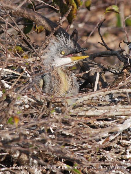 Baby Heron 5